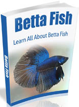 BettaFish mrr Betta Fish